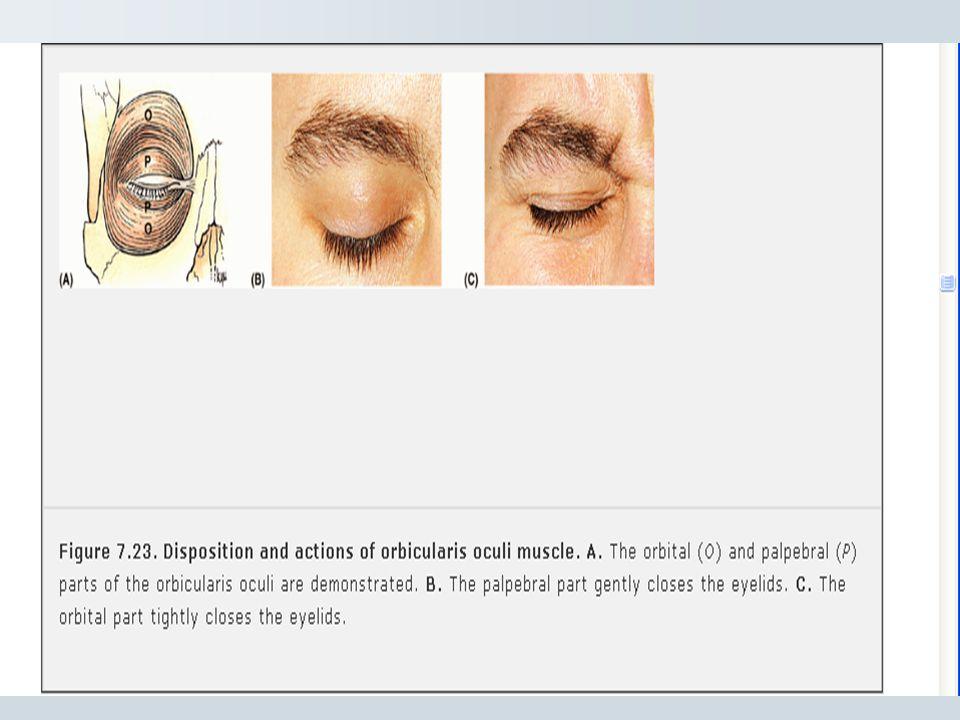 Buccinator:- * Attached to alveolar process of maxilla, mandible opposite molar tooth to ptergomandibular raphe. * Active in smile. * Keep check taut,