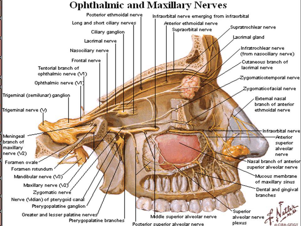 Sensory Nerves of face Trigeminal nerve (5) V1- Ophthalmic nerve : Forehead – upper eyelid- conjunctiva of eye- side of nose 5 Branches 1-Lacrimal ner