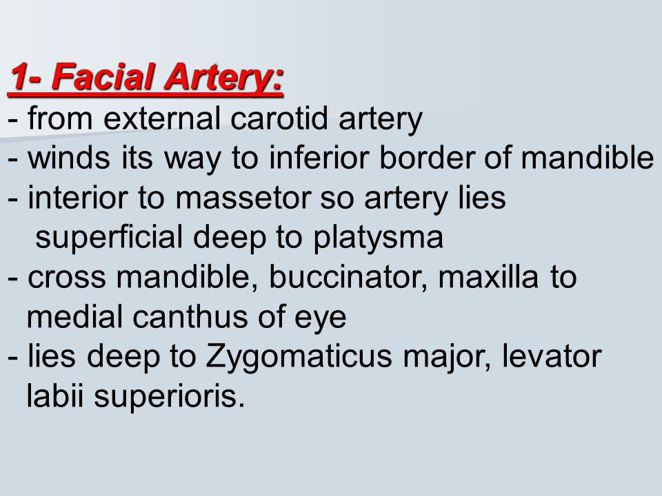 V3- Mandibular Nerve: Lower lip- lower part of face- temporal region –part of auricle 3Branches 1- Mental nerve-inferior alveolar nerve 2- Buccal nerv