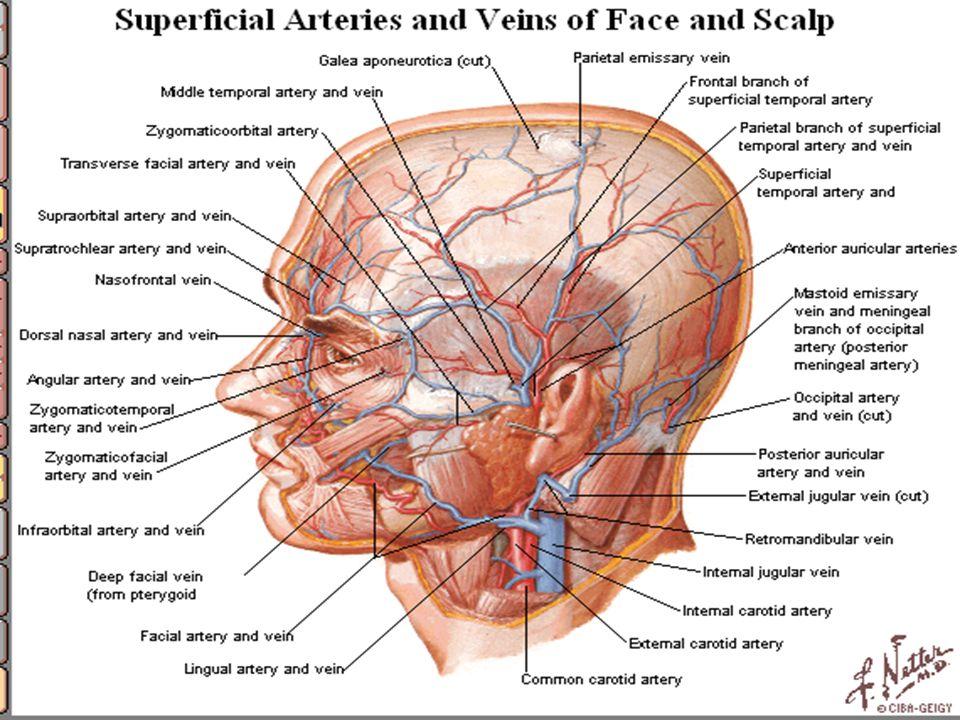 1- Facial Artery: - from external carotid artery - winds its way to inferior border of mandible - interior to massetor so artery lies superficial deep