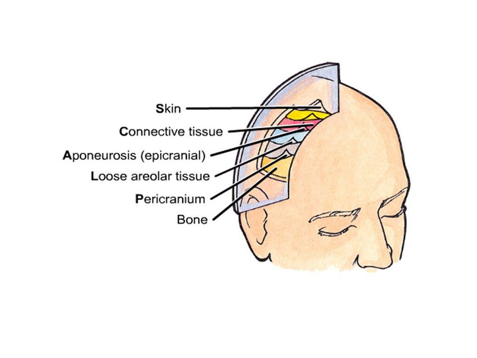 The Scalp *Consist of five layers of soft tissue covering calvaria:- S=skin C= C.T. A= Aponeurotic L= loose C.T. (dangerous area) P= Pericranium * Fro