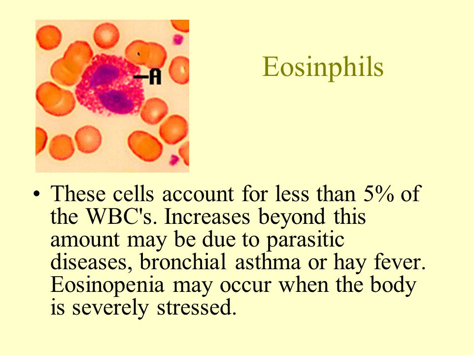 Eosinphils These cells account for less than 5% of the WBC s.