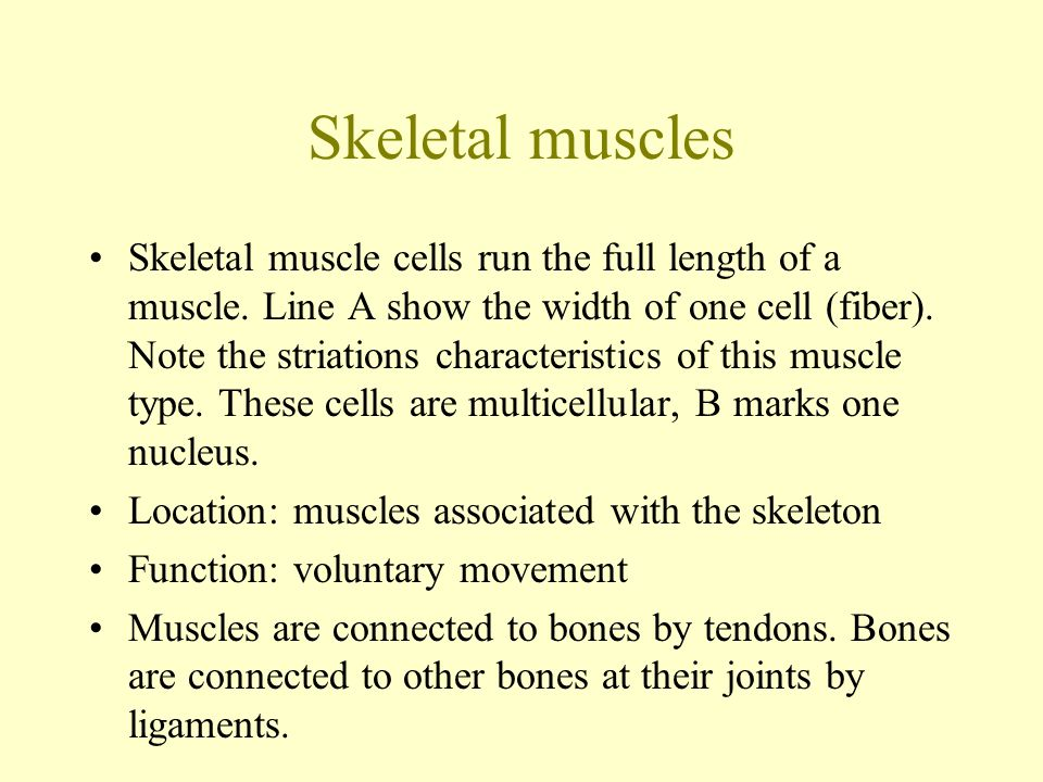 Skeletal muscles Skeletal muscle cells run the full length of a muscle. Line A show the width of one cell (fiber). Note the striations characteristics