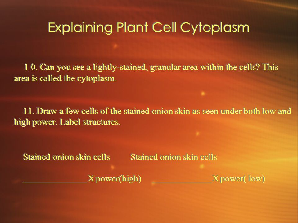 Explaining Plant Cell Cytoplasm 1 0. Can you see a lightly-stained, granular area within the cells.