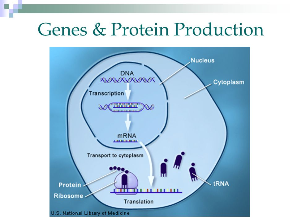 Genes & Protein Production