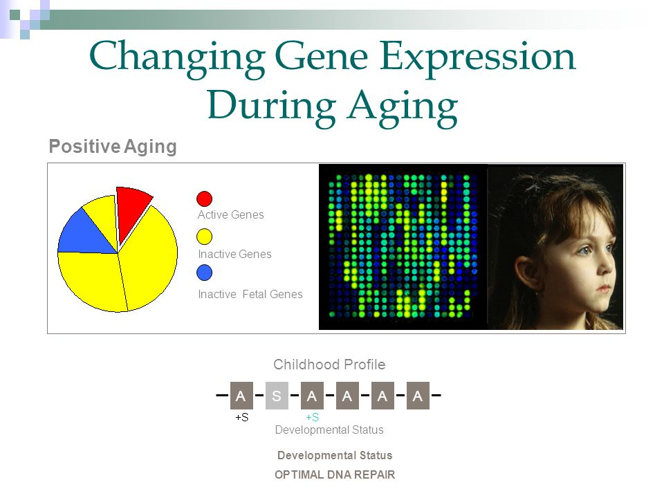 Changing Gene Expression During Aging Positive Aging Active Genes Inactive Genes Inactive Fetal Genes Childhood Profile ASAAAA Developmental Status +S Developmental Status OPTIMAL DNA REPAIR