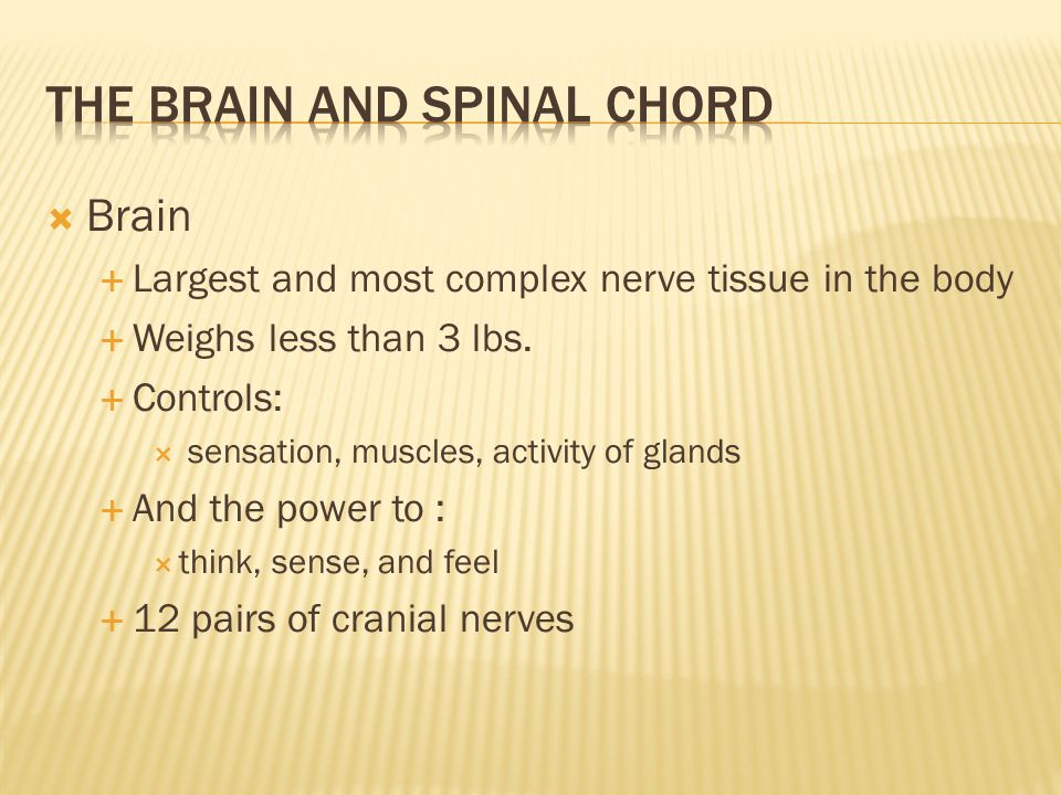  Spinal Chord  Portion of the Central Nervous System originates in the brain & extends down the trunk  Protected by the spinal column  31 pairs of spinal nerves