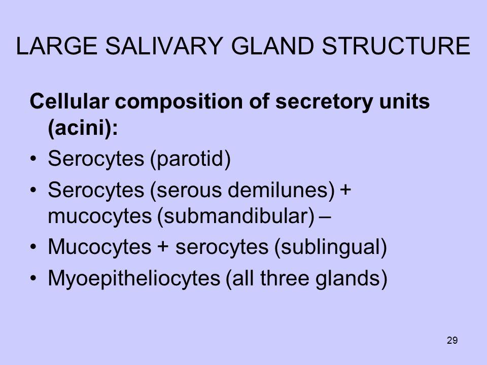 LARGE SALIVARY GLAND STRUCTURE Cellular composition of secretory units (acini): Serocytes (parotid) Serocytes (serous demilunes) + mucocytes (submandibular) – Mucocytes + serocytes (sublingual) Myoepitheliocytes (all three glands) 29