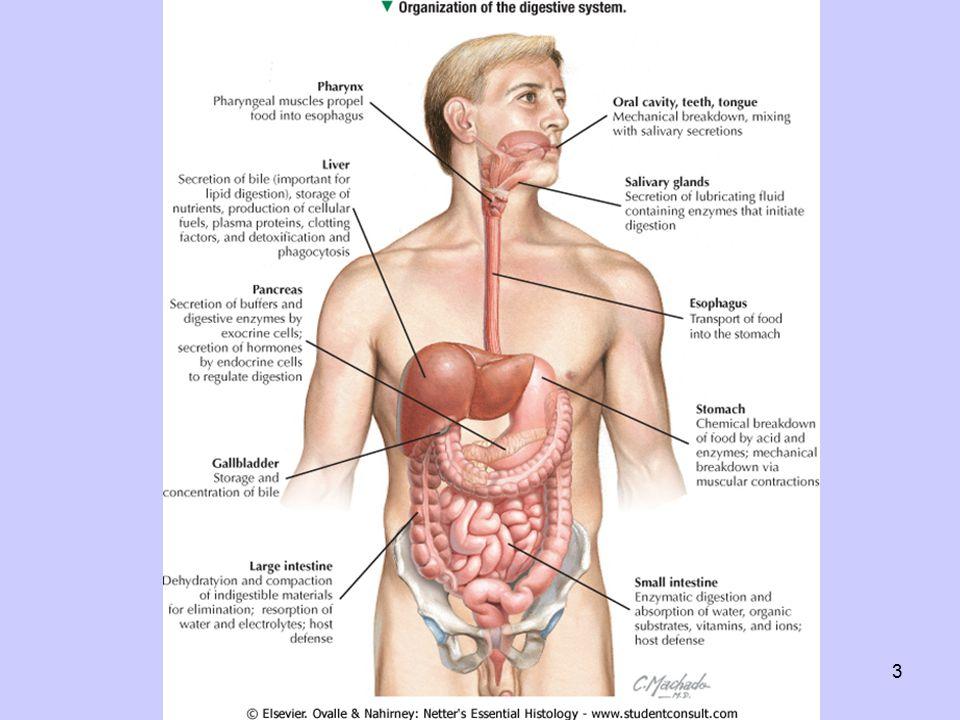 Odontogenesis 24