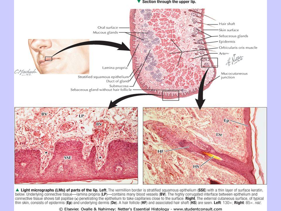 Salivary glands Major salivary glands Parotid Submandibular Sublingual Minor salivary glands Labial Buccal Lingual Palatine Molar 28