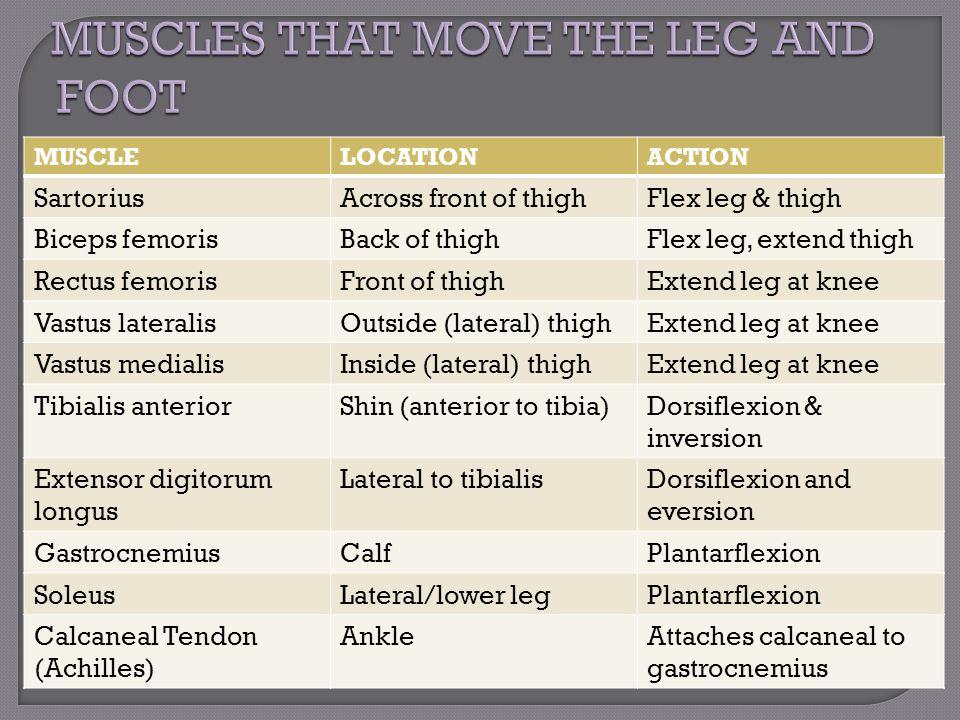 MUSCLELOCATIONACTION SartoriusAcross front of thighFlex leg & thigh Biceps femorisBack of thighFlex leg, extend thigh Rectus femorisFront of thighExte