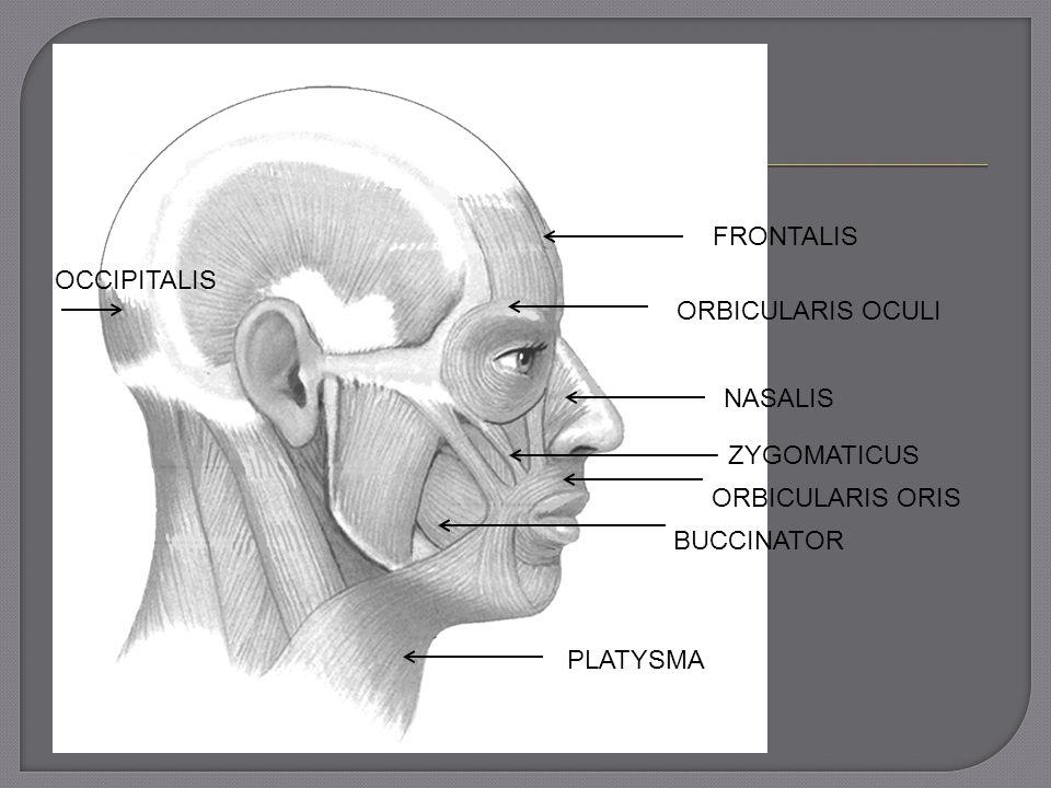 FRONTALIS ORBICULARIS OCULI NASALIS ZYGOMATICUS ORBICULARIS ORIS BUCCINATOR PLATYSMA OCCIPITALIS