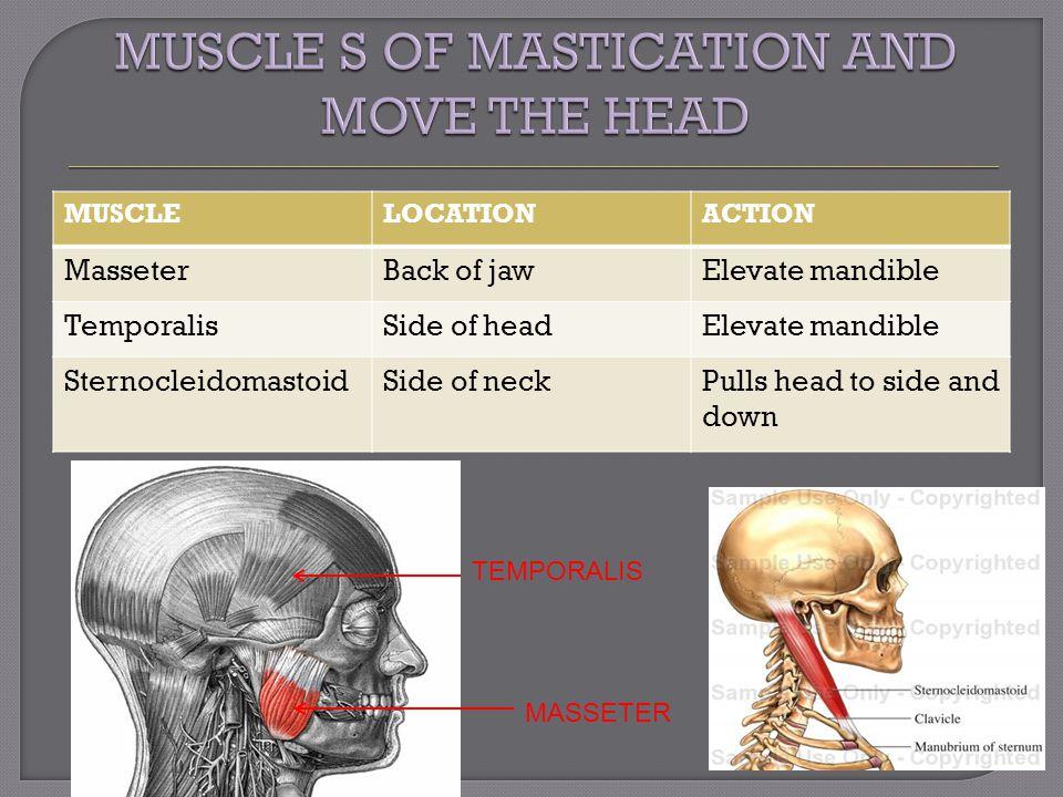 MUSCLELOCATIONACTION MasseterBack of jawElevate mandible TemporalisSide of headElevate mandible SternocleidomastoidSide of neckPulls head to side and