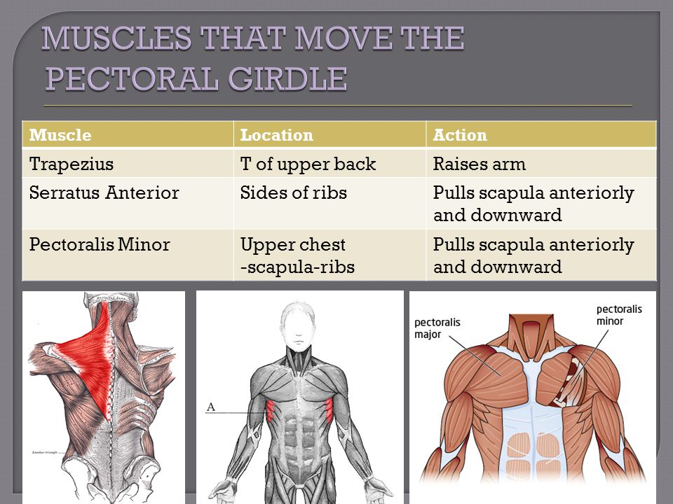 MuscleLocationAction TrapeziusT of upper backRaises arm Serratus AnteriorSides of ribsPulls scapula anteriorly and downward Pectoralis MinorUpper ches