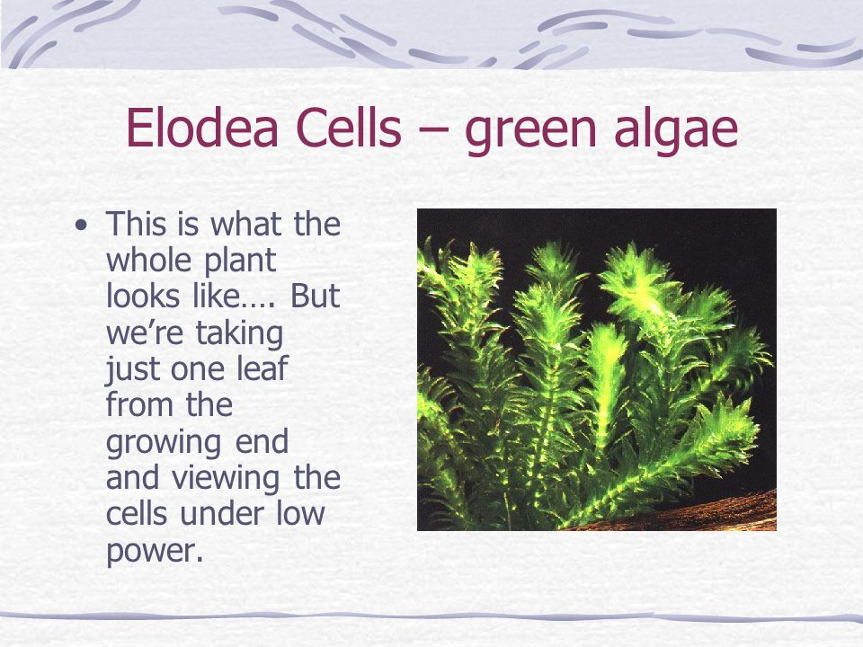 Elodea Cells – green algae This is what the whole plant looks like….