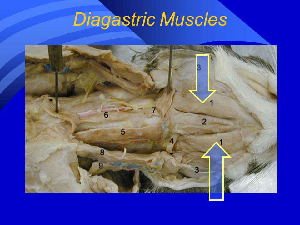 Diagastric Muscles