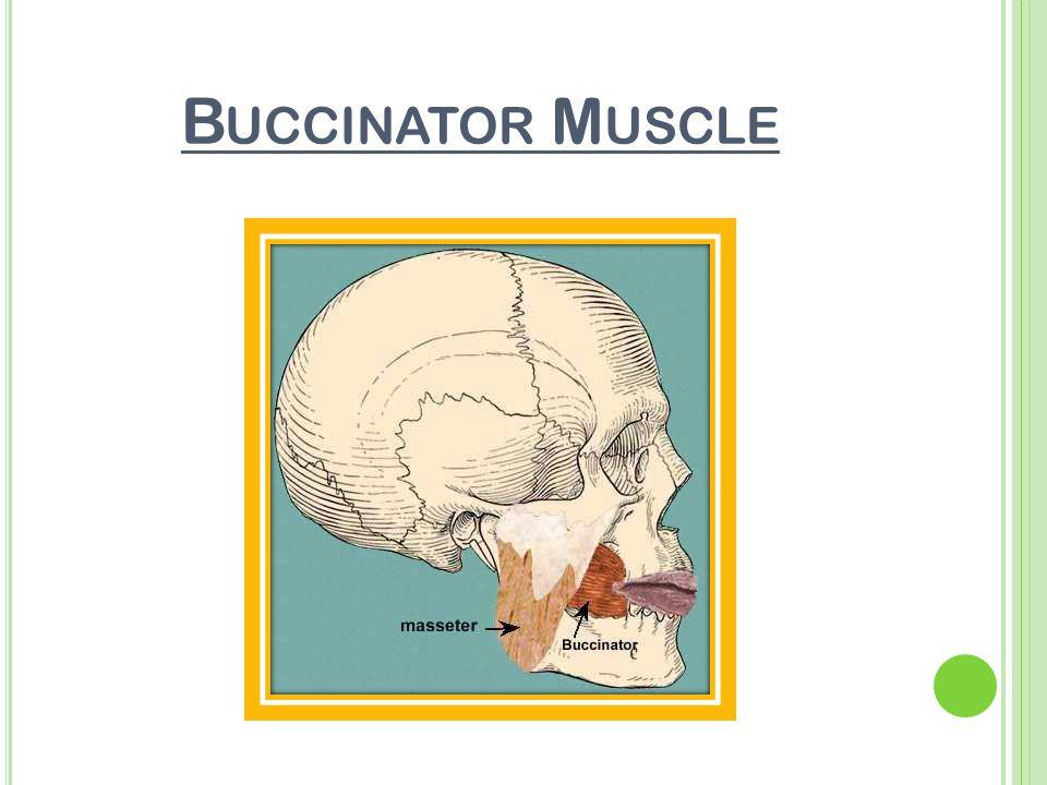 B UCCINATOR M USCLE