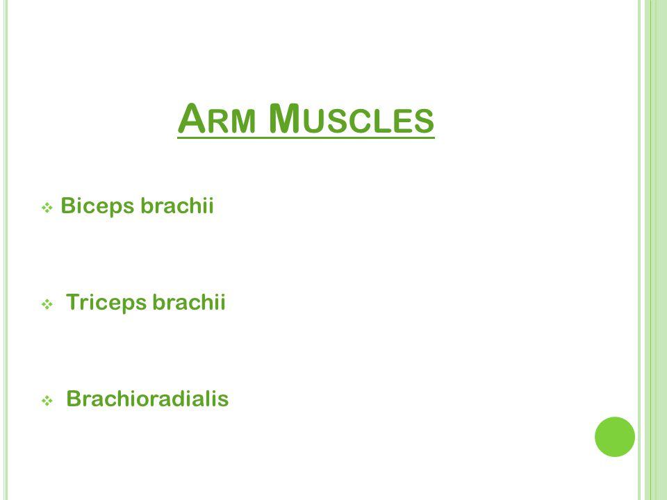 A RM M USCLES  Biceps brachii  Triceps brachii  Brachioradialis