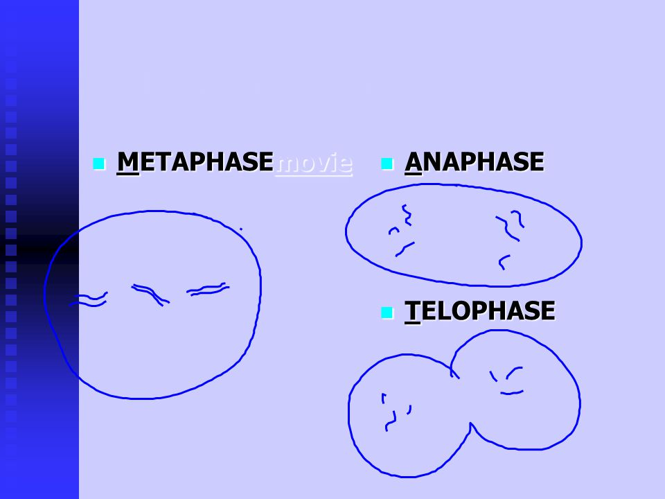PHASES of the Cell Cycle: aka: IPMAT INTERPHASE INTERPHASE PROPHASE