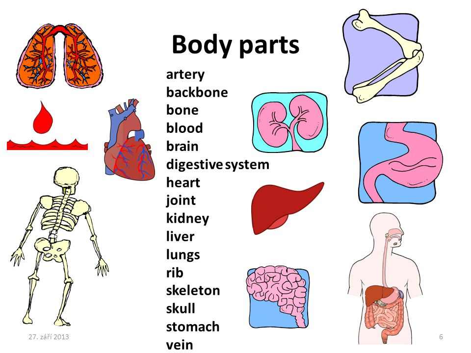 Body parts artery backbone bone blood brain digestive system heart joint kidney liver lungs rib skeleton skull stomach vein 27.