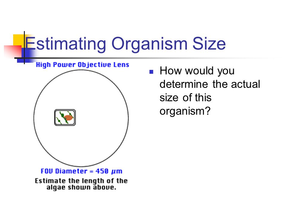 Estimating Organism Size How would you determine the actual size of this organism? Be quick and dirty, it is longer than wide (always use the long sid