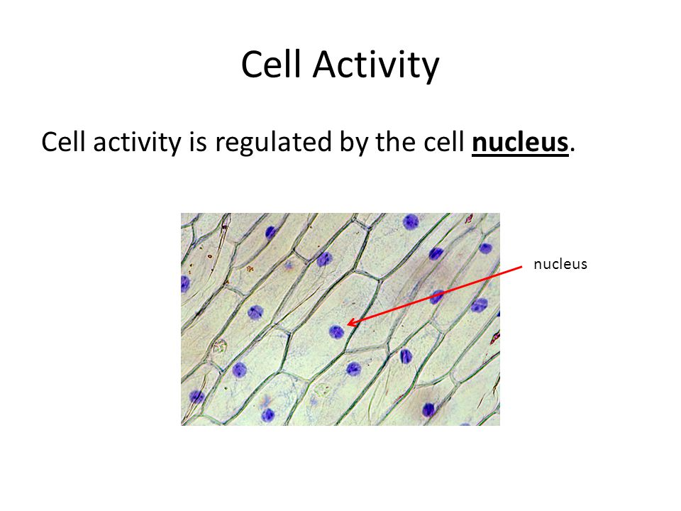 Cell Activity Cell activity is regulated by the cell nucleus. nucleus
