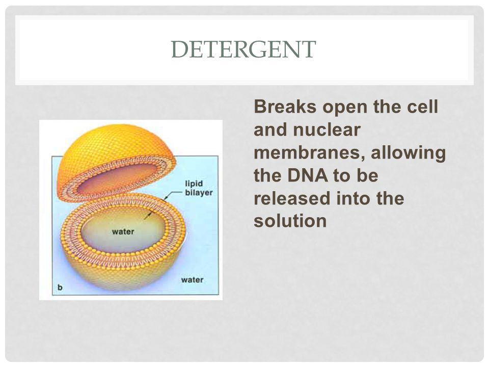 DETERGENT Breaks open the cell and nuclear membranes, allowing the DNA to be released into the solution
