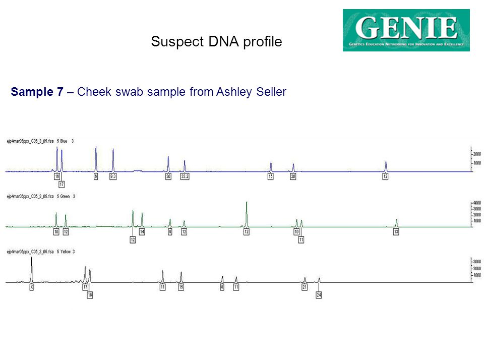 Sample 7 – Cheek swab sample from Ashley Seller Suspect DNA profile