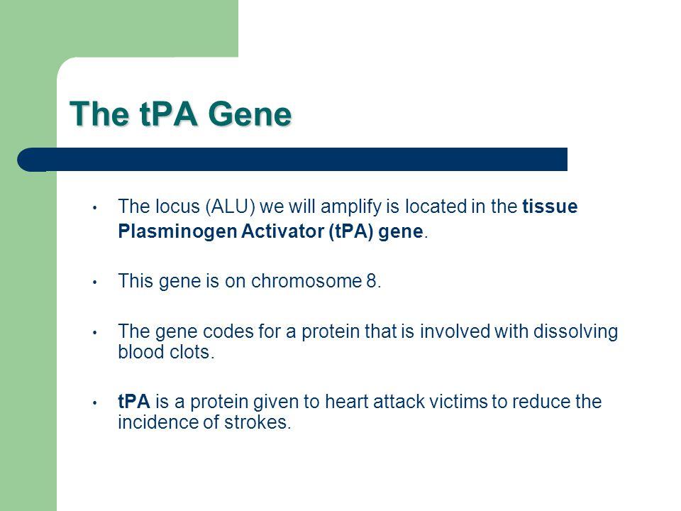 The tPA Gene The locus (ALU) we will amplify is located in the tissue Plasminogen Activator (tPA) gene.