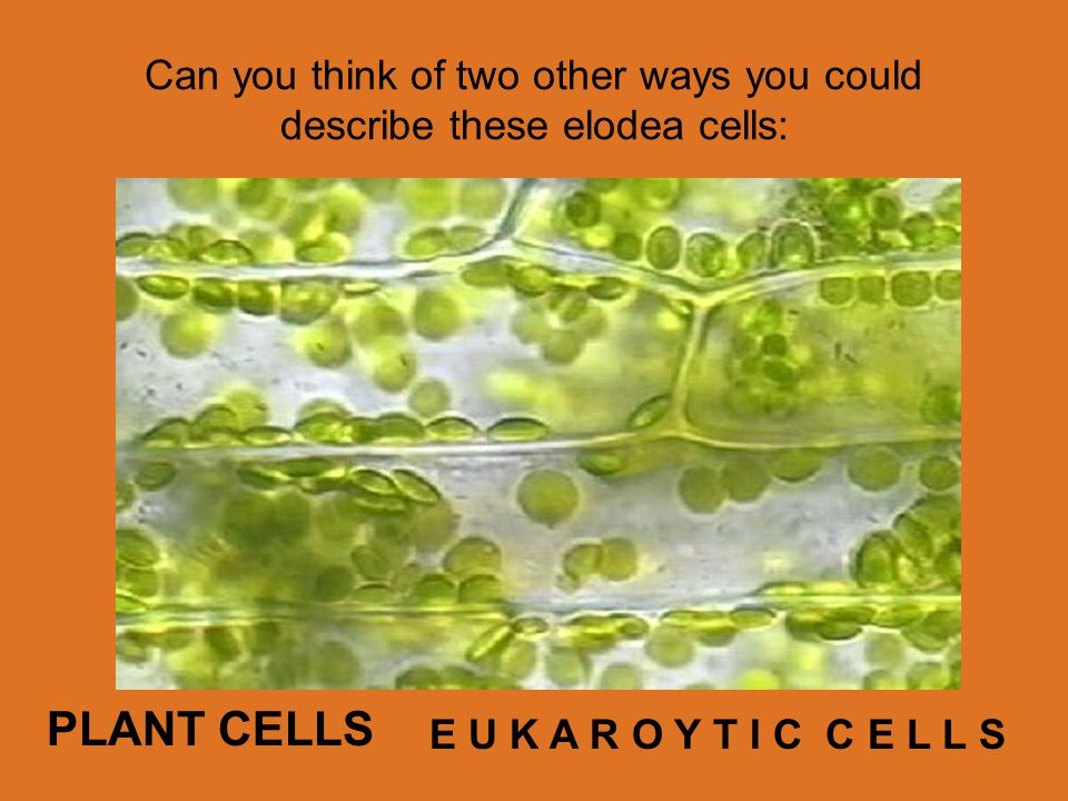 Can you think of two other ways you could describe these elodea cells: PLANT CELLS E U K A R O Y T I C C E L L S
