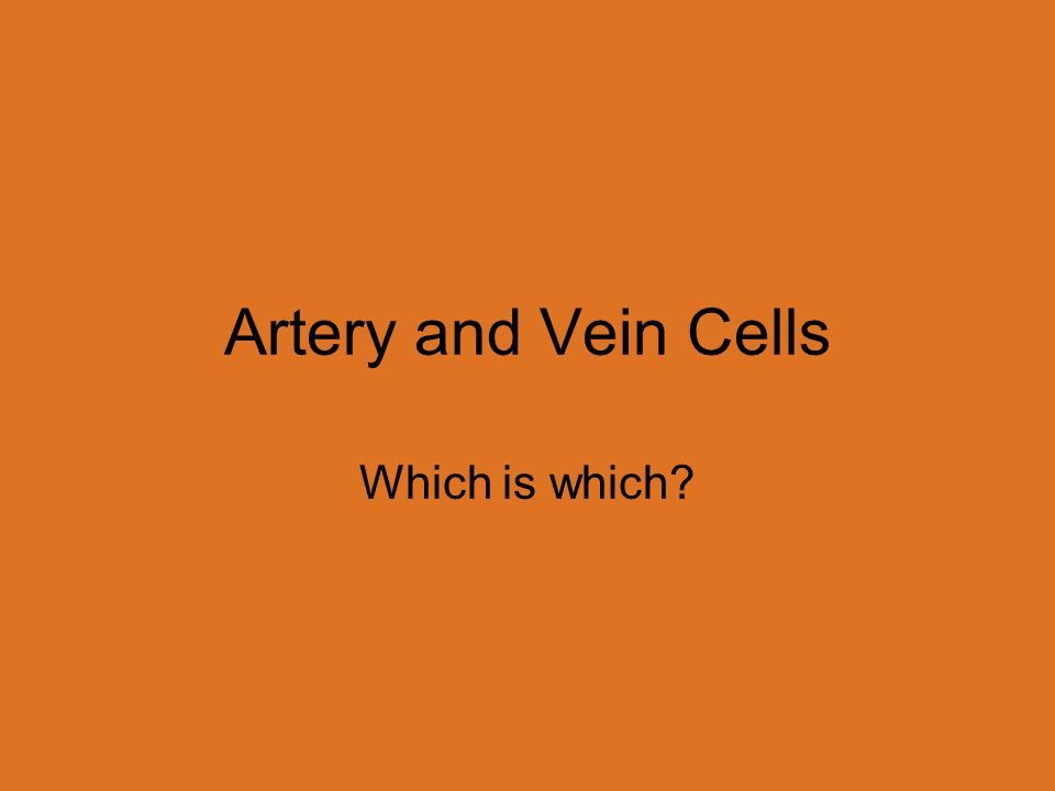 Artery and Vein Cells Which is which