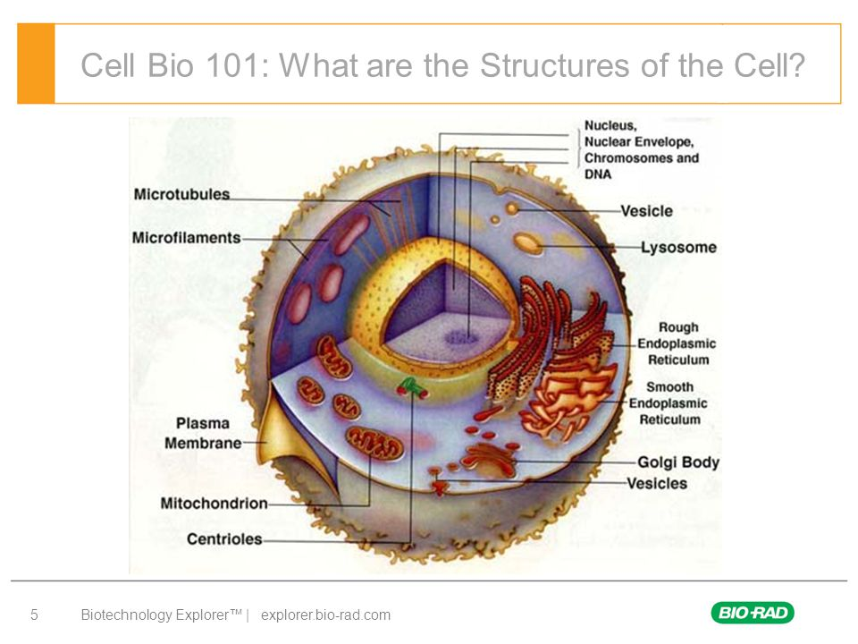 Biotechnology Explorer™ | explorer.bio-rad.com 5 Cell Bio 101: What are the Structures of the Cell