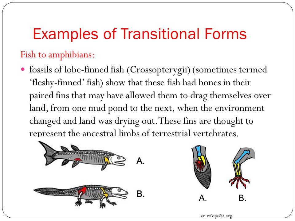 Examples of Transitional Forms Fish to amphibians: fossils of lobe-finned fish (Crossopterygii) (sometimes termed 'fleshy-finned' fish) show that thes