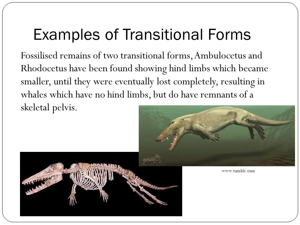 Examples of Transitional Forms Fossilised remains of two transitional forms, Ambulocetus and Rhodocetus have been found showing hind limbs which becam