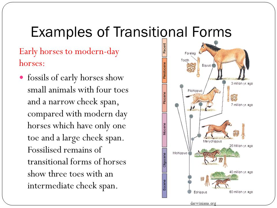 Examples of Transitional Forms Early horses to modern-day horses: fossils of early horses show small animals with four toes and a narrow cheek span, c