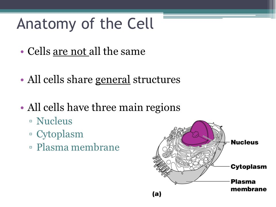 Anatomy of the Cell Cells are not all the same All cells share general structures All cells have three main regions ▫Nucleus ▫Cytoplasm ▫Plasma membrane