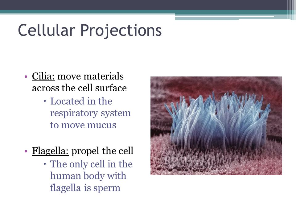 Cellular Projections Cilia: move materials across the cell surface  Located in the respiratory system to move mucus Flagella: propel the cell  The only cell in the human body with flagella is sperm