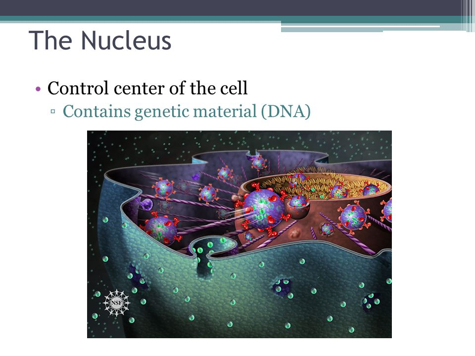 The Nucleus Three regions ▫Nuclear envelope (membrane) ▫Nucleolus ▫Chromatin