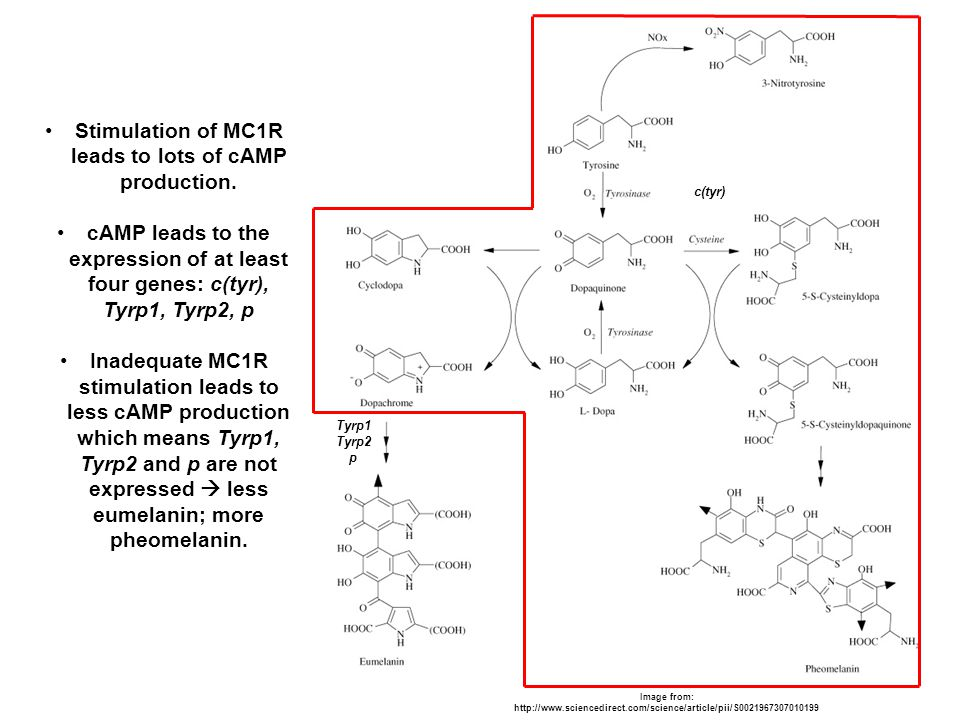 Stimulation of MC1R leads to lots of cAMP production. cAMP leads to the expression of at least four genes: c(tyr), Tyrp1, Tyrp2, p Inadequate MC1R sti