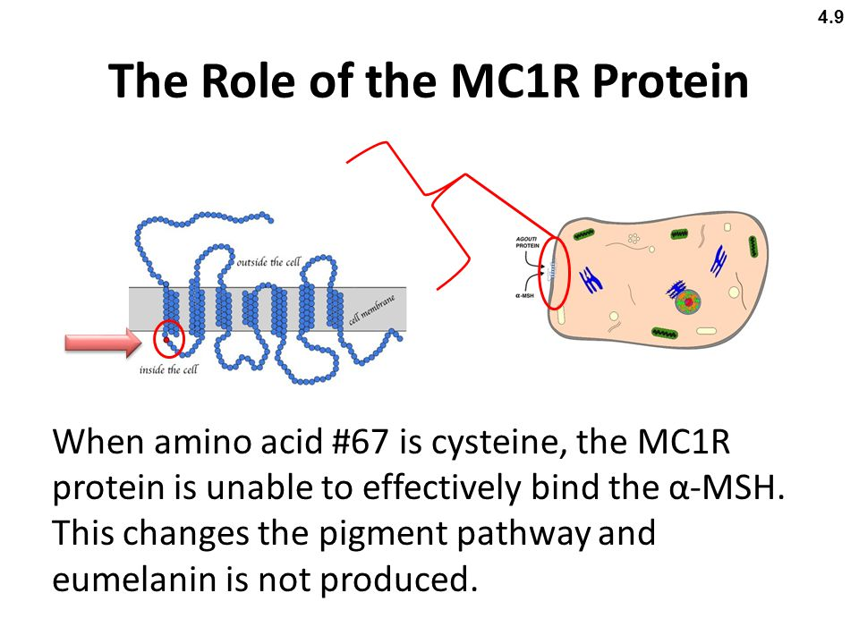 The Role of the MC1R Protein When amino acid #67 is cysteine, the MC1R protein is unable to effectively bind the α-MSH. This changes the pigment pathw