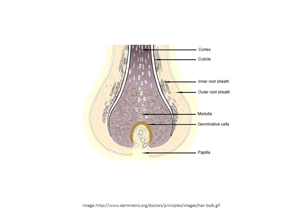 Image: http://www.dermnetnz.org/doctors/principles/images/hair-bulb.gif