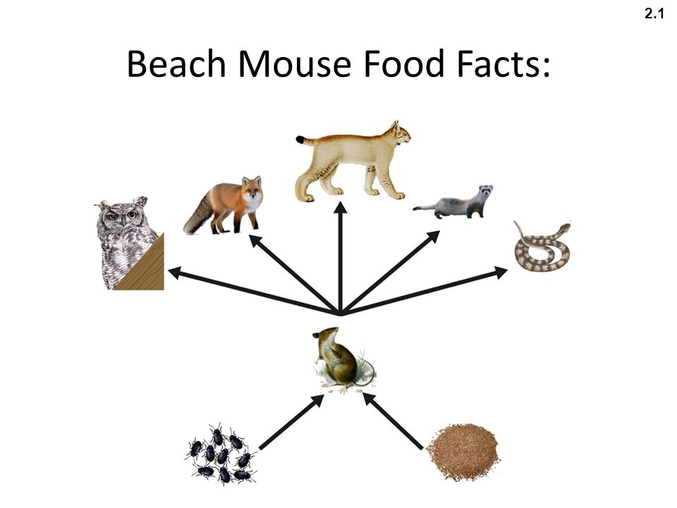 Beach Mouse Food Facts: 2.1