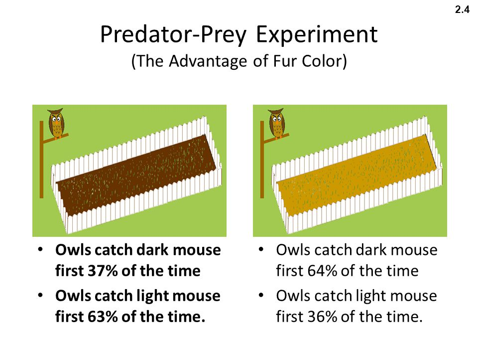Predator-Prey Experiment (The Advantage of Fur Color) Owls catch dark mouse first 64% of the time Owls catch light mouse first 36% of the time. Owls c