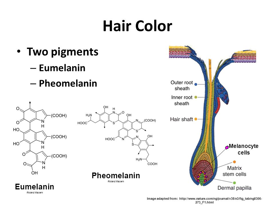 Hair Color Two pigments – Eumelanin – Pheomelanin Image adapted from: http://www.nature.com/ng/journal/v38/n3/fig_tab/ng0306- 273_F1.html Eumelanin Ro