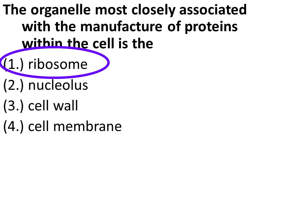 The organelle most closely associated with the manufacture of proteins within the cell is the (1.) ribosome (2.) nucleolus (3.) cell wall (4.) cell me
