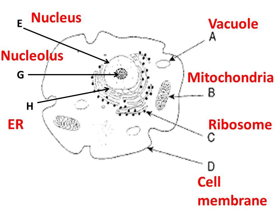 E G H Vacuole Mitochondria Ribosome Cell membrane Nucleus Nucleolus ER