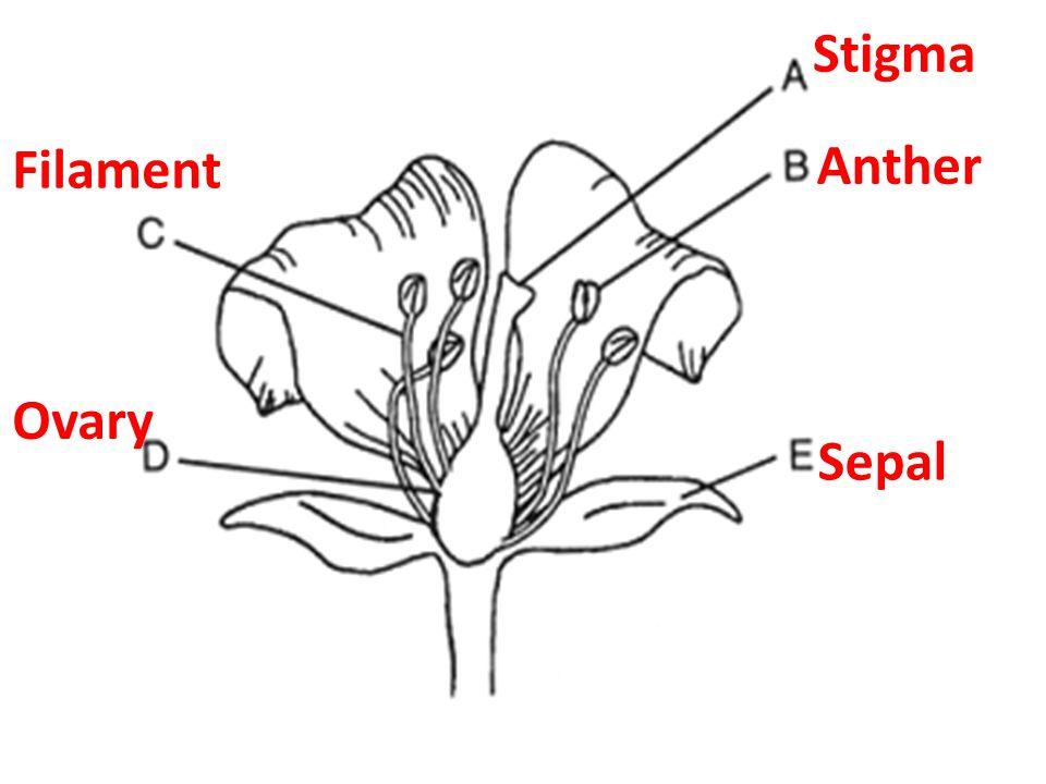 Stigma Anther Filament Ovary Sepal