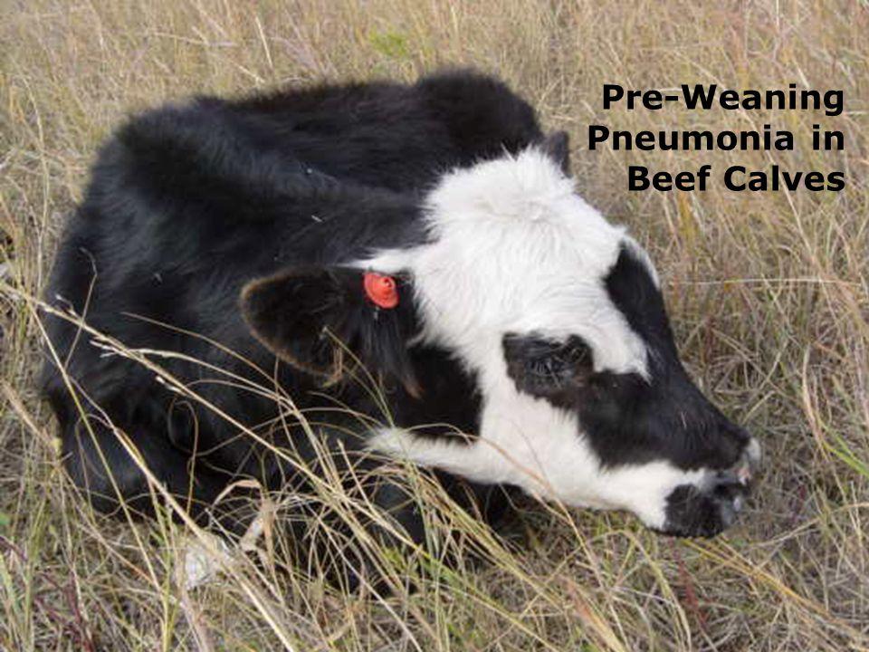 Pre-Weaning Pneumonia in Beef Calves