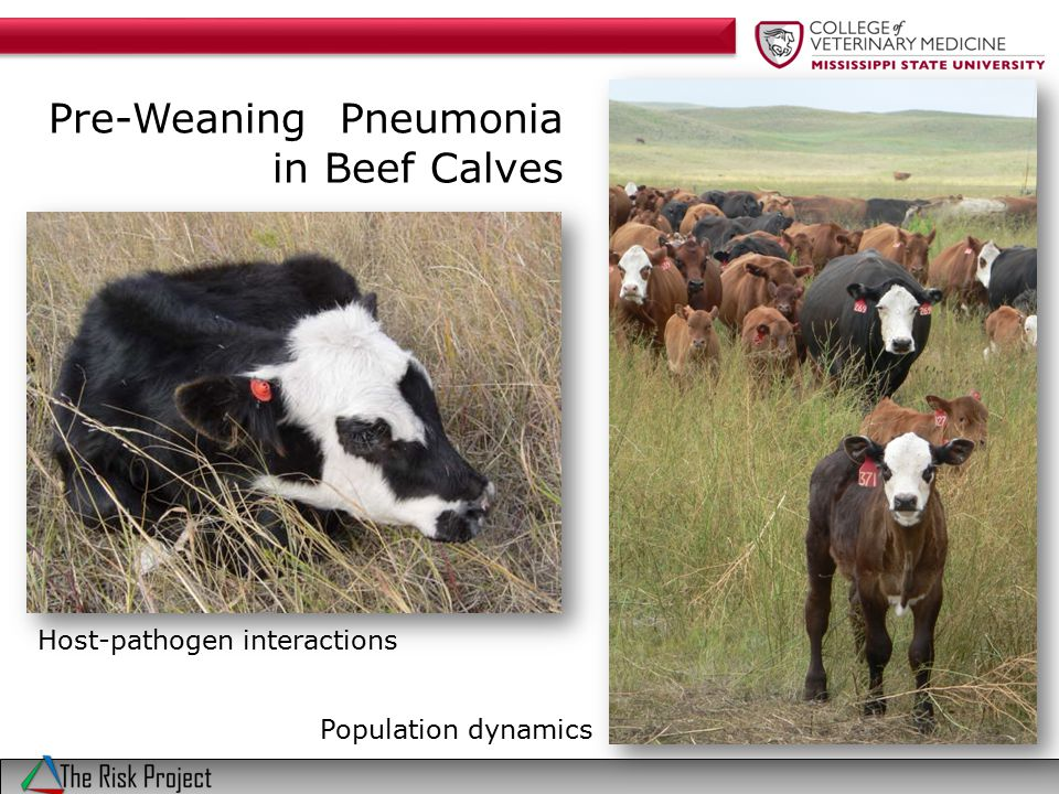 Pre-weaning BRD Herd 2 Age distribution of 49 pneumonia cases from among 255 pre-weaned calves from a Nebraska ranch 19% cumulative incidence