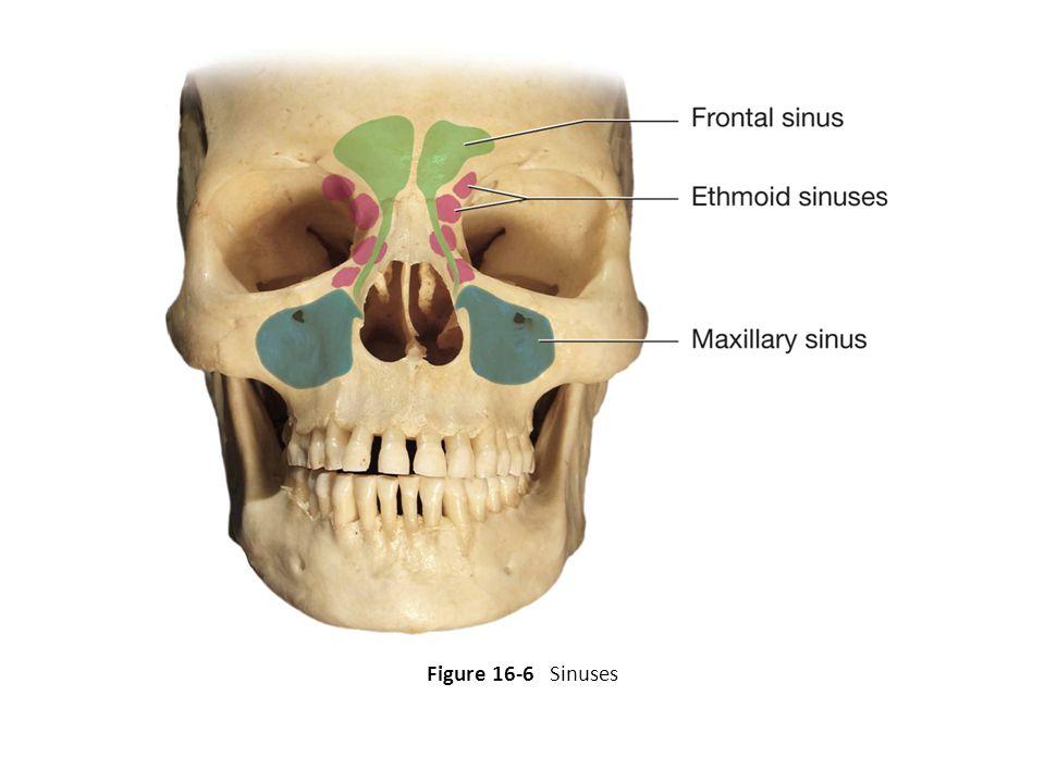 Figure 16-6 Sinuses